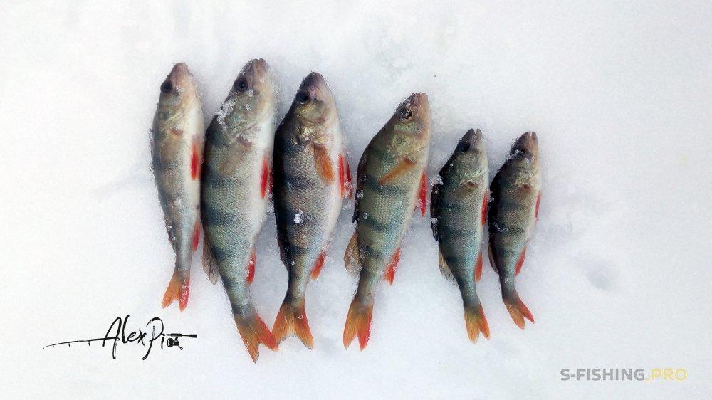 Отчеты с водоемов: Каждый год 31 декабря мы с друзьями ходим на рыбалку.