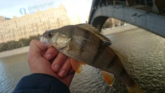 Отчеты с водоемов: Москворецкий окуня у Киевского вокзала!