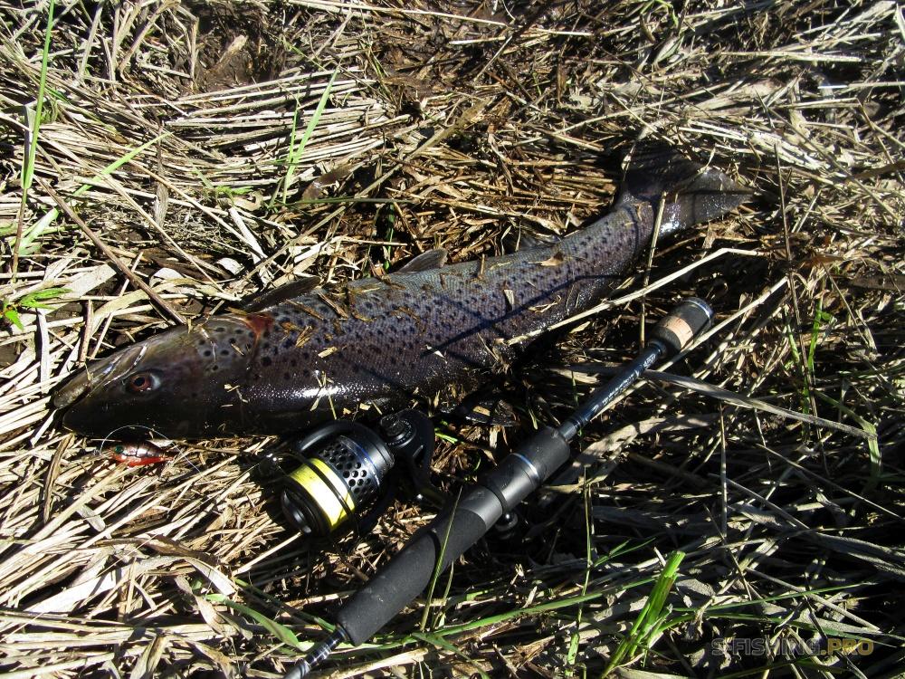 Дикая рыба, пойманная при участии плетеного шнура Sprut диаметром 0,16  Источник: http://s-fishing.pro/