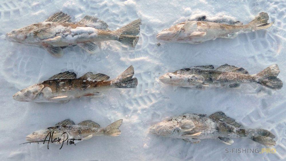 Отчеты с водоемов: Ловля берша под «Грибным снегом» на ECOPRO Судачья 70
