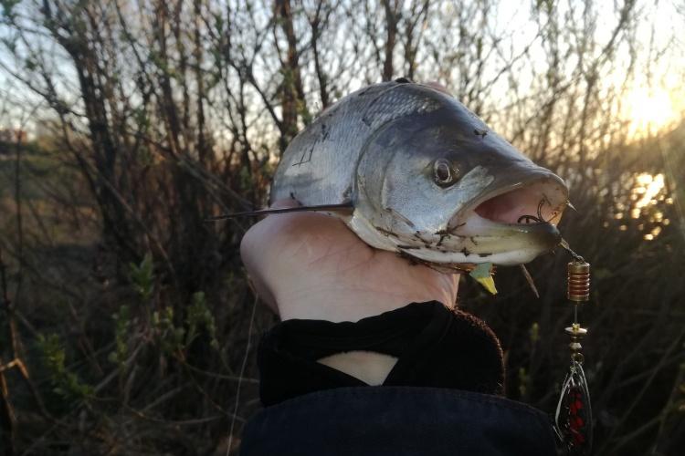 Наконец-то жерех, или спонтанная утренняя рыбалка