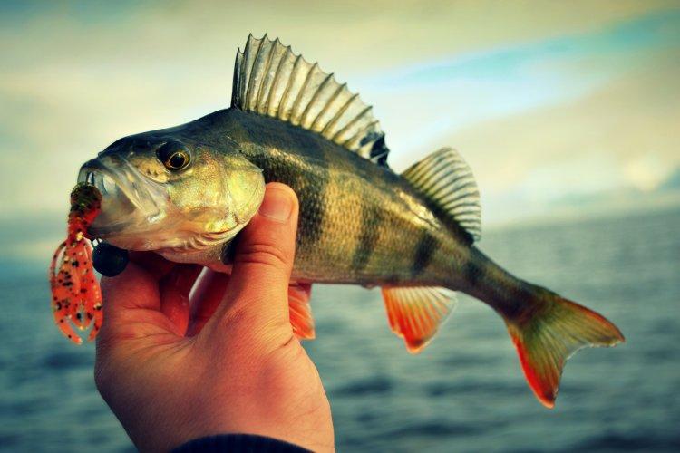 Долгожданная окунёвая рыбалка