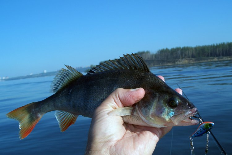 Рыбалка тейл-спиннером SHIMO SPIN 33  цветом SRD3